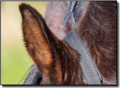 Oreille de cheval
